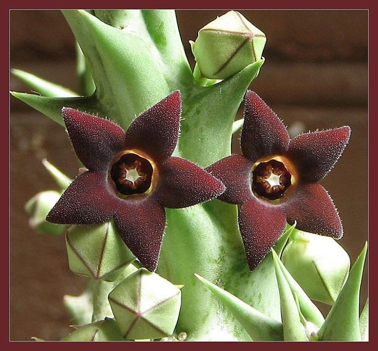Цветок в виде звезды